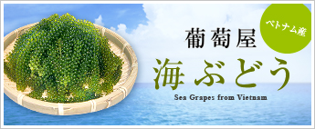 Sea Grapes from Vietnam